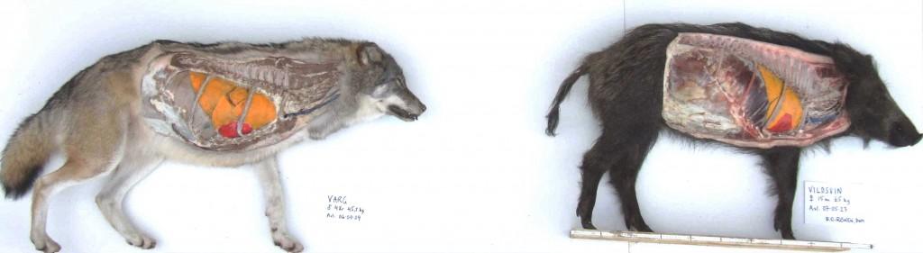 07-07-25 dissektion varg o vildsvin